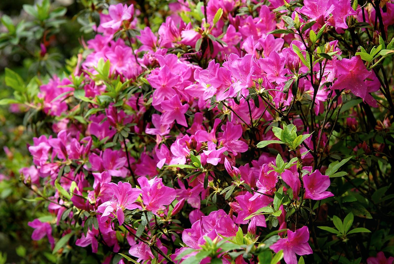 Der Rhododendronpark ist im Mai ein einziges Blütenmeer.